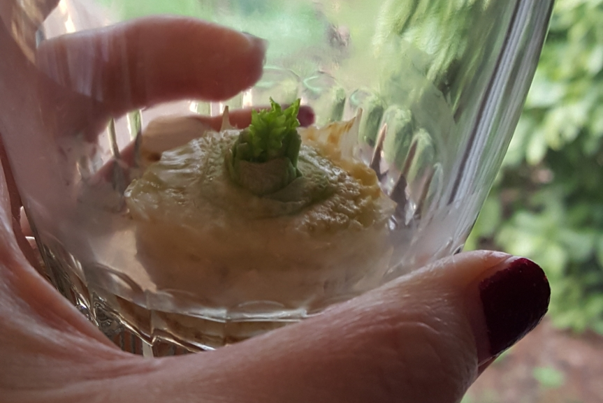 We're also trying to re-grow vegetables from clippings. This is a little celery re-starting. Photo by Dragonfly Leathrum