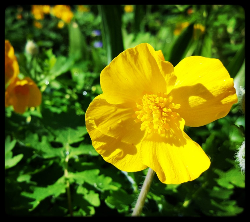 Celendine Poppy in the front garden. Photo by Dragonfly Leathrum
