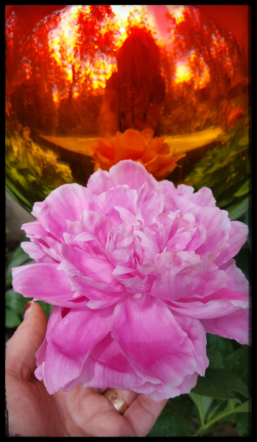 Peony. Photo by Dragonfly Leathrum